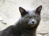 blue-russian-cat-photograph