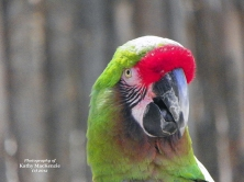 green-macaw-photo-by-feather-and-fur