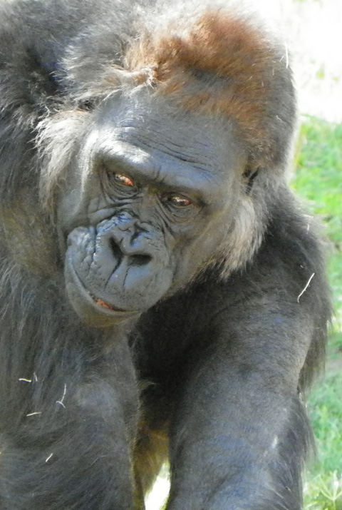 Gorilla - Vila